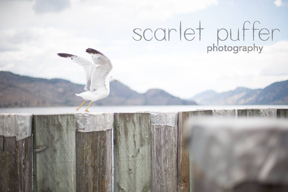 Scarlet Puffer Photography